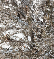 how many owls can you spot? (marianna armata) Tags: shortearedowl owls birds raptor tree cedar camouflage mariannaarmata fauna winter snow canada ontario