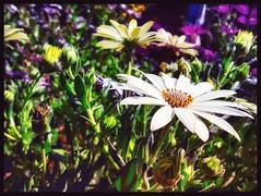 #Margaritas (Pedro Angel Prados) Tags: margaritas samsung smt580 ƒ19 29 mm 13846 40 flor flower flowers color colors nature natura macro makro