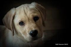 Puppy love (Gaby Swanson, Photographer) Tags: labrador labradorpuppy dog pets pet birddogs huntingdogs dogs