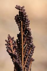 Onoclea sensibilis (tammoreichgelt) Tags: sensitive fern onocleaceae bead rockefeller state park sori sporangia