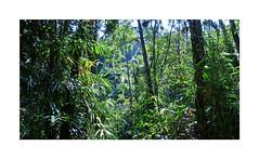 Tropical Darkness (Sam H. Maas) Tags: tropen tropischerregenwald tropicalrainforest tree baum grün green natur nature landscape landschaft outdoor ausen