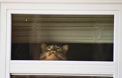Peeping Tom (Jetcraftsofa) Tags: nikonf3 nikkor18028 lomo400 35mm slr filmphotography availablelight neko cat lookieloo window candid catface curious peepingtom