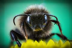 little monster (MyMUCPics) Tags: hummel bumblebee insekt insect makro macro 2019 märz march tier animal focusstacking detail deutschland germany bayern bavaria natur nature