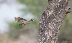 African Grey Hornbill -8626 (Theo Locher) Tags: africangreyhornbill birds grysneushoringvoël oiseaux tockusnasutus vogels vögel zuidafrika southafrica krugernationalpark kruger copyrighttheolocher