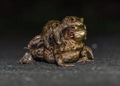 It seems a long way to the pond! (ukmjk) Tags: toad male female nikon nikkor d750 105vr sb900 staffordshire stoke night amphibian