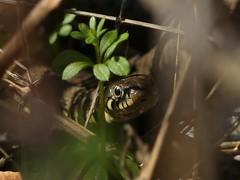 Grass Snake (ukstormchaser (A.k.a The Bug Whisperer)) Tags: grass snake snakes uk animal animals reptile reptiles milton keynes bucks buckinghamshire afternoon macro sunlight