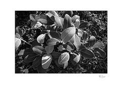 Marlborough Rock Daisy (Pachystegia insignis) (radspix) Tags: canon t90 tamron adaptall ii sp 2880mm f3542 cf macro model 27a ilford fp4 plus pmk pyro