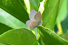 Blue Butterfly (bevanwalker) Tags: animal insect fresh sky time summer photography plant outdoor native nature wildlife pose moment closeup 105mmf28 lens colour pattern image bog blue butterfly sunshine d7000 camera macro green wings