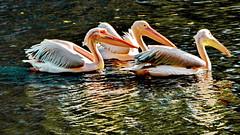 Pelícanos (gerard eder) Tags: world travel reise viajes natur nature naturaleza animals animales tiere park parque pelicanos pelikane birds waterbirds wasser water