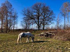 Gräset börjar ta fart… (Patrick Strandberg) Tags: sweden östergötland bergagård freyda freydafrånblixtorp icelandichorse islandshäst horse häst iphone iphonex
