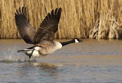 Canada Goose,  Branta canadensis (michael.smith86) Tags: canadagoose brantacanadensis 7dmk2 canon birdinflight bif photography wildlife water reeds takeoff goose 150600 contemporary sigma bird