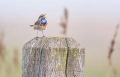 Encore une (Eric Penet) Tags: oiseau animal sauvage faune nature belgique wildlife wild bird avril printemps flandres vlaanderen uitkerke uitkerkse blankenberge gorgebleue gorge bleue passereau bluethroat