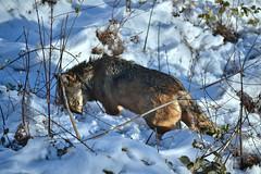 (g.larosa) Tags: wolf winter snow abruzzi wildlife