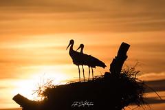 DelPréstamo - 2019   -   1-11 (Del_Préstamo) Tags: naturaleza cigüeñas aves reservanatural