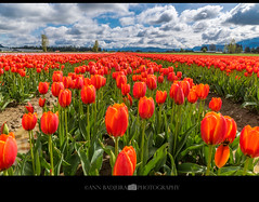 Chilliwack Tulip Fest near Vancouver, BC, Canada (Ann Badjura Photography) Tags: chilliwack chilliwacktulipfestival vancouver bc britishcolumbia canada tulips spring daffodils hyacinths vancitybuzz vancity insidevancouver 604now miss604 fields bulbs clouds colourfulvancouver 24hrvancouver photonewsgallery tulipsofthevalley ctvphotos annbadjura pacificnorthwest pnw fraservalley flower sky photography georgiastraight iamcanadian canadianbeauty