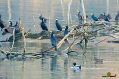 A-LUR_1989 (OrNeSsInA) Tags: ornessina trasimeno lago byrd natura nature aironi umbria itali italia