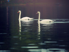 Love (Dreaming Diva) Tags: love swans water lake tree sky blue red green heaven peaceful outdoor nature white boating fishing beauty serenity color summer sunset simple sweethearts