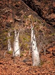 Cucumber Trees (Rod Waddington) Tags: middle east socotra island yemen yemeni dendrosicyos socotranus cucumber tree threatened species nature landscape rock vulnerable cucurbitaceae