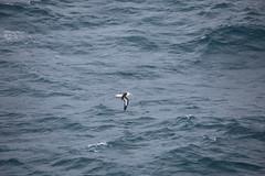 IMG_0219 (y.awanohara) Tags: humpbacks humpbackwhales whales whale southgeorgia scotiasea january2019 wildlife cetacean