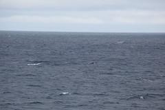 IMG_0326 (y.awanohara) Tags: humpbacks humpbackwhales whales whale southgeorgia scotiasea january2019 wildlife cetacean