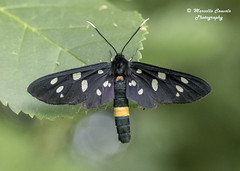 Amata phegea (Linnaeus, 1758) (Marcello Consolo) Tags: taxonomy:kingdom=animalia animalia taxonomy:phylum=arthropoda arthropoda taxonomy:subphylum=hexapoda hexapoda taxonomy:class=insecta insecta taxonomy:subclass=pterygota pterygota taxonomy:order=lepidoptera lepidoptera taxonomy:superfamily=noctuoidea noctuoidea taxonomy:family=erebidae erebidae taxonomy:subfamily=arctiinae arctiinae taxonomy:tribe=syntomini syntomini taxonomy:genus=amata amata taxonomy:species=phegea taxonomy:binomial=amataphegea ninespottedmoth amataphegea pretino weisfleckwidderchen sphinxdupissenlit ivanjskaptičica běloskvrnáčpampeliškový fehérpettyesálcsüngőlepke phegeavlinder лжепестрянкаобыкновенная лжепестрянкачерноусая taxonomy:common=ninespottedmoth taxonomy:common=pretino taxonomy:common=weisfleckwidderchen taxonomy:common=sphinxdupissenlit taxonomy:common=ivanjskaptičica taxonomy:common=běloskvrnáčpampeliškový taxonomy:common=fehérpettyesálcsüngőlepke taxonomy:common=phegeavlinder taxonomy:common=лжепестрянкаобыкновенная taxonomy:common=лжепестрянкачерноусая