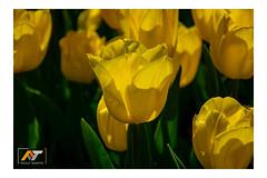 Tulipani gialli (nicolo.tadiotto) Tags: fiori giallo giardino luci nicolò nt ombre parco petali primavera sole tadiotto trasparenza tulipanigialli tulipano