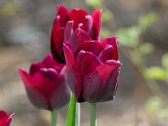 Tulips from last spring. (lovesdahlias 1) Tags: tulips bulbs flowers blossoms gardens nature spring newengland ngc npc