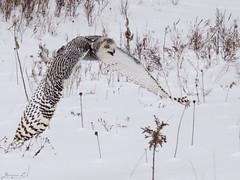 Robert Snowy Owl CRC IMG_3621 (Jennz World) Tags: ©jennifermlivick canadianraptorconservancy vittoria ontario canada snowyowl owl raptor winter snow