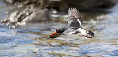 Forget what we're told (Keith Midson) Tags: canon 5d 200mm bird oystercatcher flight beach sea coast coastline coastal