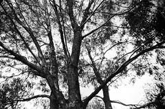 Tree branches! (Matthew Paul Argall) Tags: kodakstar500af 35mmfilm blackandwhite blackandwhitefilm ilforddelta100 100isofilm tree trees branches treebranches