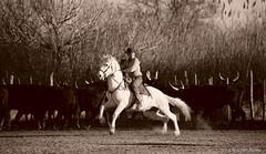 _DSC0674 (chris30300) Tags: camargue cheval