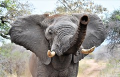 This is your final warning! (pstone646) Tags: elephant nature animal africa wildlife safari southafrica pachinderm warning dust fauna closeup