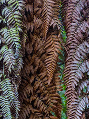Winter Colours (Steve Taylor (Photography)) Tags: brown green bronze metallic newzealand nz southisland canterbury christchurch fern leaves pattern winter