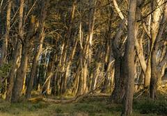 Lumière du soir dans le sous-bois (brunomalfondet) Tags: alpilles fontvieille forêt sousbois arles sliderssunday