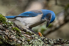 California Scrub-Jay 20190202_0154 (GORGEous nature) Tags: bird oakwoodland californiascrubjay aphelocomacalifornica winter foraging acorn february ©johndavis klickitatco washington