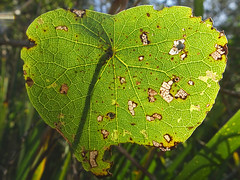 Leafy sunshine (jo.elphick) Tags: lakeconjola nsw australia beachside leaf greenleaf sunshine macro