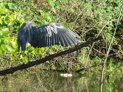 great blue wingspan (Cheryl Dunlop Molin) Tags: greatblueheron heron ardeaherodias bird indianabirds birdsofthemidwest pondlife heronwing birdwing