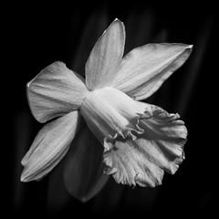 NARCISSUS! (Ageeth van Geest) Tags: square nature voorjaar spring narcissus flower bw blackandwhite monochrome