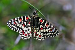 Spanish Festoon Butterfly (Zerynthia Rumina) (natureloving) Tags: spanishfestoonbutterfly zerynthiarumina butterfly insect papillon nature macro wildlife natureloving nikon d90 afsvrmicronikkor105mmf28gifed animalplanet