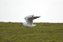 Fine dinning at Holland haven (Kay Musk) Tags: bird worm nature wildlife wild seaside hollandhaven nikond3200 grass