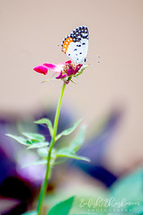 Butterfly Photos (Babish VB) Tags: nature naturesbest naturebeauty naturephotography naturephotos natureislovely naturelover nikond90 nikon nikondslr nikonphotography nikonphotos nikkor70300mm nice niceflowers flower flowerphotography flowers flowercloseup flowerphoto kerala