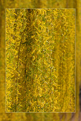 Weeping Willow (FocusPocus Photography) Tags: trauerweide weepingwillow blüte flowering frühling spring golden natur nature