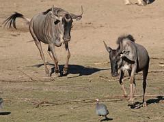 wildebeast Burgerszoo 094A0499 (j.a.kok) Tags: animal africa afrika antilope wildebeast gnoe gnu mammal zoogdier dier herbivore burgerszoo burgerzoo