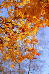 Gold autumn (nemetz83) Tags: golden blue plants trees branches leaves foliage clouds autumn season sky maple birch light seasons azure transparency distance