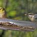 Winter birds:  Goldfinch & tiny Brown-headed nuthatch