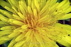 Dandelion, 2019.04.05 (Aaron Glenn Campbell) Tags: weed flower pollen nature outdoors spring flora macro closeup detail macphun skylum luminar nikcollection colorefexpro viveza knoxcounty knoxville tennessee sony a6000 ilce6000 mirrorless nikon micronikkorauto55mmf35 primelens manualfocus filmera vintagelens dandelion shallow depthoffield