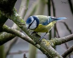 Blue tit. (vickyouten) Tags: bluetit bird nature wildlife wildlifephotography britishwildlife nikon nikond7200 nikonphotography nikkor55300mm warrington uk vickyouten