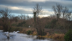 FIGHTING SWANS [ ROYAL CANAL BETWEEN BROOMBRIDGE AND ASHTOWN]-148312 (infomatique) Tags: birds swans fight wildlife nature water canal royalcanal canalwalk sony a7riii batis zeiss 135mmlens williammurphy infomatique fotonique ireland