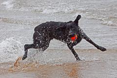 Splash (Jason...lost in Norfolk) Tags: labrador beach ball kong dog water sand fun sea canon canon100400mml