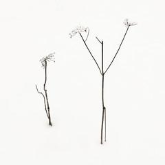 Talventörröttäjät No.11 (Vesa Pihanurmi) Tags: talventörröttäjä herbaceous winterseeder weed reed cane stem stalk plant nature snow winter minimalism sipoo finland